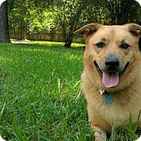 Labrador Retriever/German Shepherd Dog Mix Dog for adoption in Cypress, Texas - Kora
