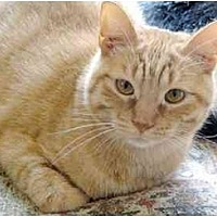 Domestic Shorthair Cat for adoption in Thibodaux, Louisiana - Bernard Fe1-7574