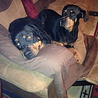 Adopt A Pet :: Bongo - Fort Worth, TX