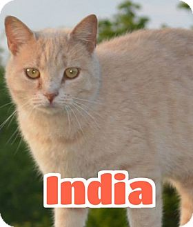 Domestic Shorthair Cat for adoption in Lawrenceburg, Kentucky - #2-3737 India - foster GB