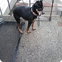 Adopt A Pet :: Hunny - Acushnet, MA