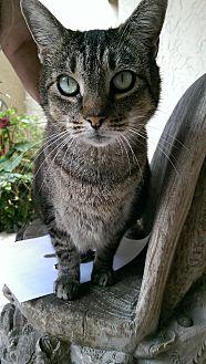 Domestic Shorthair Cat for adoption in Naples, Florida - Simone
