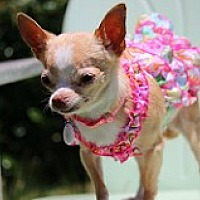 Adopt A Pet :: Betty White - Fountain Valley, CA