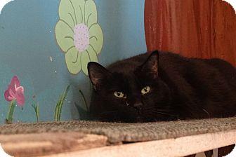 Domestic Shorthair Cat for adoption in Elyria, Ohio - Bitty Boo