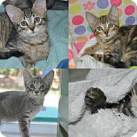 Adopt A Pet :: Dusty (gray tabby kitten) - New Smyrna Beach, FL