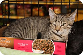 American Shorthair Kitten for adoption in Hazlet, New Jersey - Simone