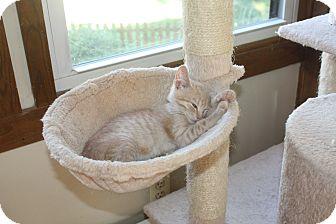 Domestic Shorthair Kitten for adoption in St. Louis, Missouri - Harley