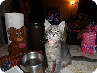 Domestic Shorthair Kitten for adoption in Northfield, Ohio - Madison