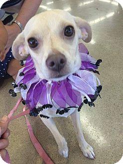 Chihuahua/Beagle Mix Dog for adoption in Studio City, California - Nella