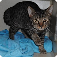 Domestic Shorthair Cat for adoption in Ridgeland, South Carolina - Leopard