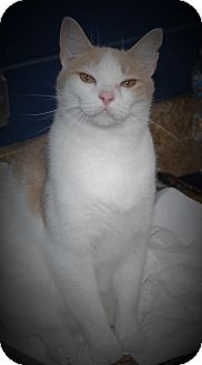 Domestic Shorthair Cat for adoption in Wilmington, Ohio - Rascal