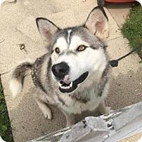 Adopt A Pet :: Krypto - Mt Prospect, IL
