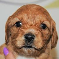 Adopt A Pet :: Peach Pie - Agoura Hills, CA