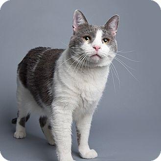 Domestic Shorthair Cat for adoption in Wilmington, Delaware - Trisha