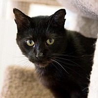 Domestic Shorthair Cat for adoption in St. Paul, Minnesota - Danny and Dellwood