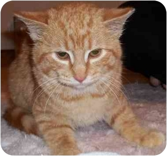 Domestic Shorthair Cat for adoption in Acme, Pennsylvania - Triscuit