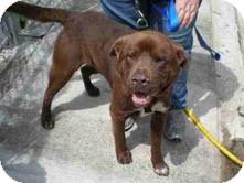 Labrador Retriever/Chow Chow Mix Dog for adoption in Dundas, Virginia - Bear - Courtesy Post