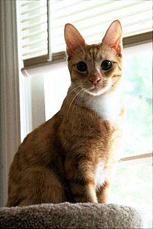 Domestic Shorthair Cat for adoption in Atlanta, Georgia - Wild Bill