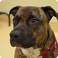 American Staffordshire Terrier Dog for adoption in Westbury, New York - Butch