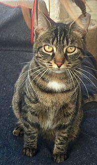 Domestic Shorthair Cat for adoption in Horsham, Pennsylvania - Jasmine & Rocky