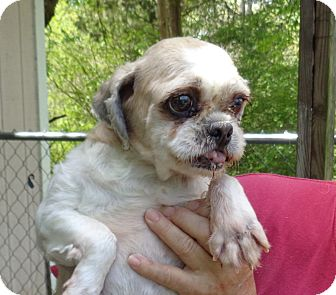 Shih Tzu Dog for adoption in Crump, Tennessee - Gold Digger