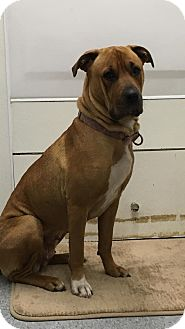 Shar Pei/Boxer Mix Dog for adoption in Anchorage, Alaska - Lucy