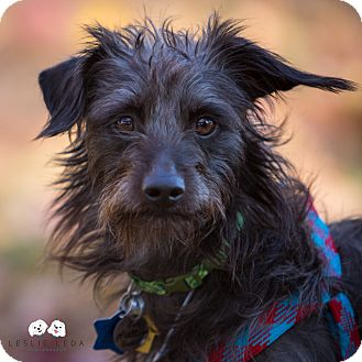 Terrier (Unknown Type, Small)/Affenpinscher Mix Dog for adoption in Astoria, New York - Malcolm:Adoption Pending