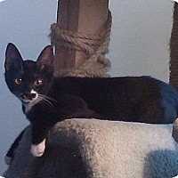 Domestic Shorthair Cat for adoption in Gardena, California - Henry