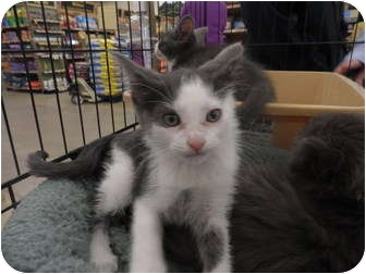 Domestic Shorthair Kitten for adoption in Warren, Michigan - Mowgli
