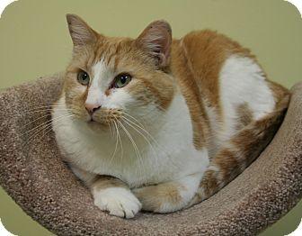 Domestic Mediumhair Cat for adoption in Edmonton, Alberta - Decker