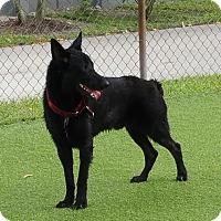 Adopt A Pet :: Pharoah - Pompano Beach, FL
