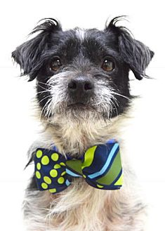 Terrier (Unknown Type, Small) Mix Dog for adoption in Dublin, California - Edgar
