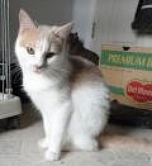 Domestic Shorthair Cat for adoption in Stuart, Virginia - Takita
