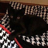 Domestic Shorthair Cat for adoption in Johnson City, Tennessee - Bristol