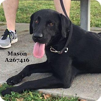 Labrador Retriever Mix Dog for adoption in Conroe, Texas - VADER