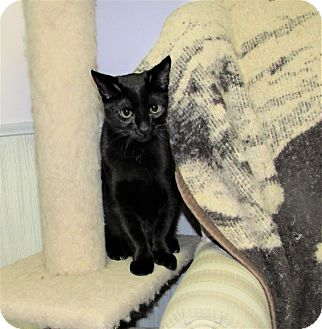American Shorthair Cat for adoption in Cannon Falls, Minnesota - Nytro