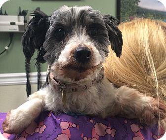 Havanese Dog for adoption in Oak Ridge, New Jersey - Irmgard