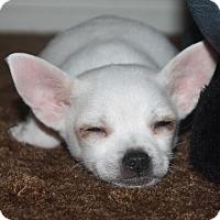 Adopt A Pet :: Bruiser - Henderson, NV