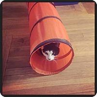 Domestic Shorthair Cat for adoption in bridgeport, Connecticut - Riley