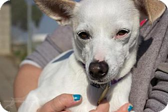 Italian Greyhound Mix Dog for adoption in Seal Beach, California - Juno
