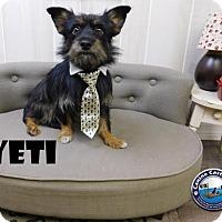 Adopt A Pet :: Yeti - Arcadia, FL