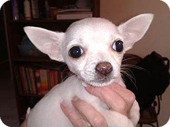 Chihuahua Mix Puppy for adoption in San Diego, California - Faith