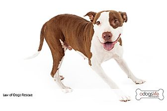 Terrier (Unknown Type, Medium)/Vizsla Mix Dog for adoption in Scottsdale, Arizona - Ty