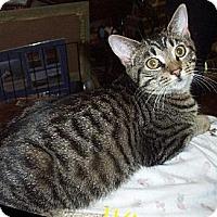 Adopt A Pet :: Ringo - Lindenhurst, NY
