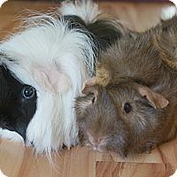 Adopt A Pet :: Bianca & Peanut - Brooklyn Park, MN