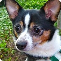 Adopt A Pet :: Sheba - Bellevue, WA