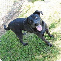 Labrador Retriever Mix Dog for adoption in Huntsville, Alabama - Remmy