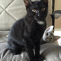 Domestic Shorthair Cat for adoption in Land O Lakes, Florida - Braxton