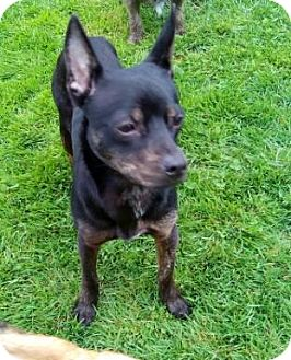 Chihuahua Mix Dog for adoption in Custer, Washington - Mia Bella