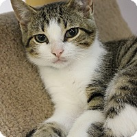 Adopt A Pet :: Maddox - Medina, OH
